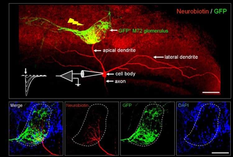 Image shows olfactory bulb neuron.
