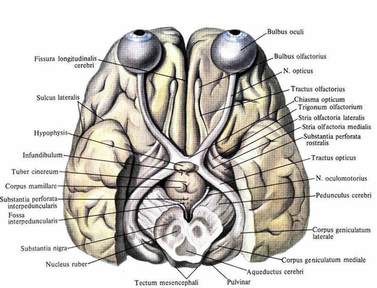 Image shows a diagram of the visual system in the brain.