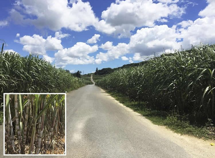 Image shows a sugarcane field.