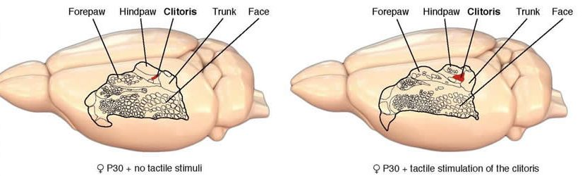 Image shows a diagram of a rat brain homunculus.