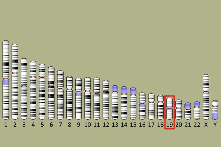 Image shows the 19th chromosome.