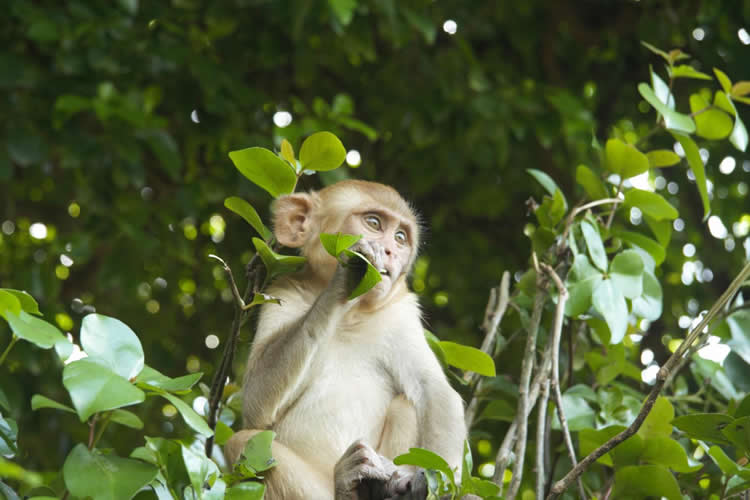 Image shows a macaque monkey.