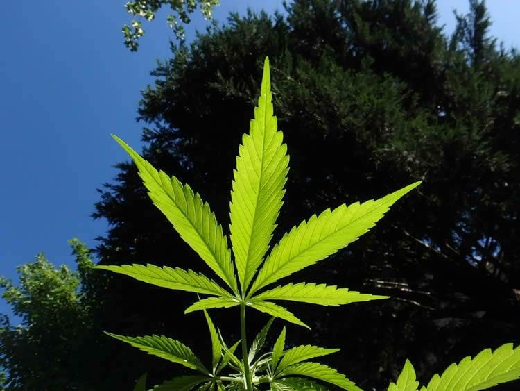 Image shows a marijuana leaf.