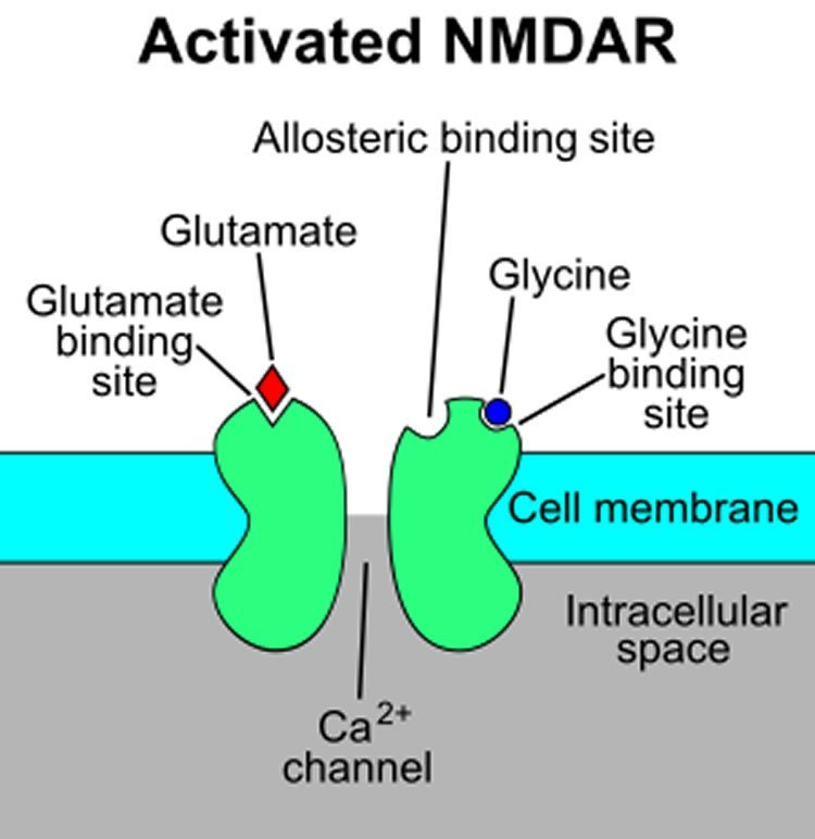 Image shows diagram of an activated nmda receptor.