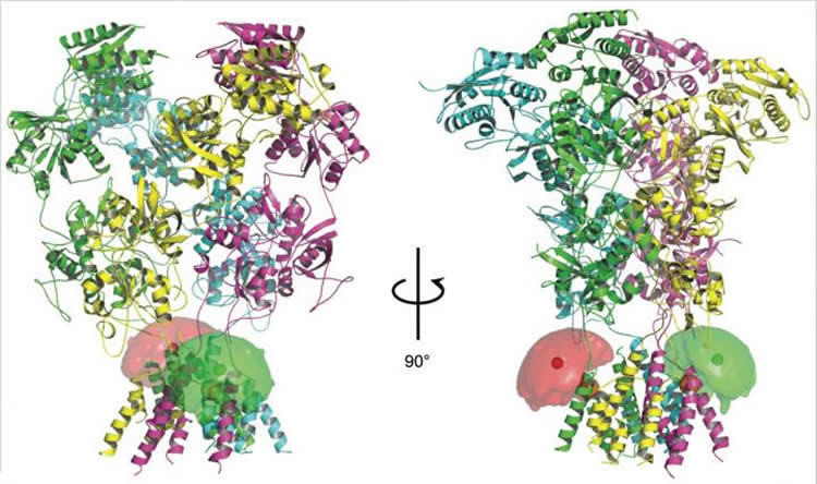 Image shows four subunits of NMDA receptor proteins.