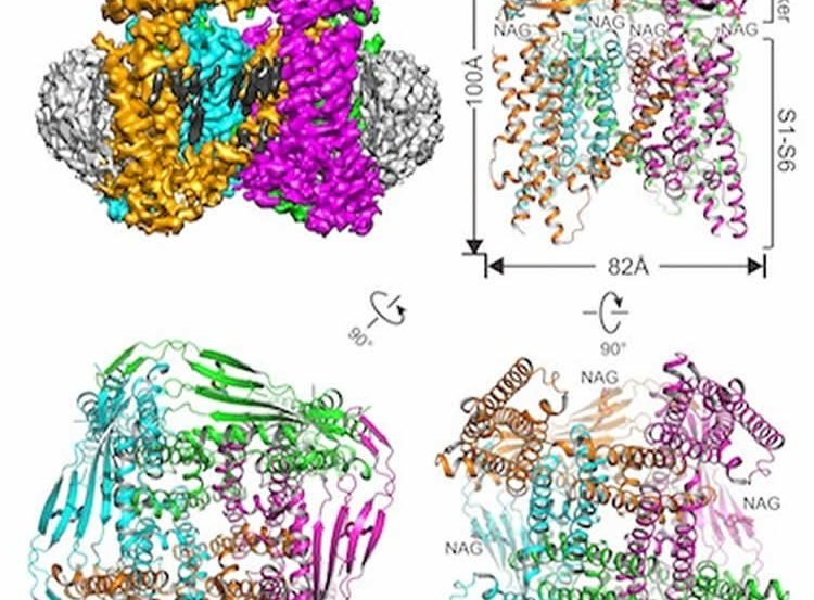 Image shows a the TRPML1 ion channel.