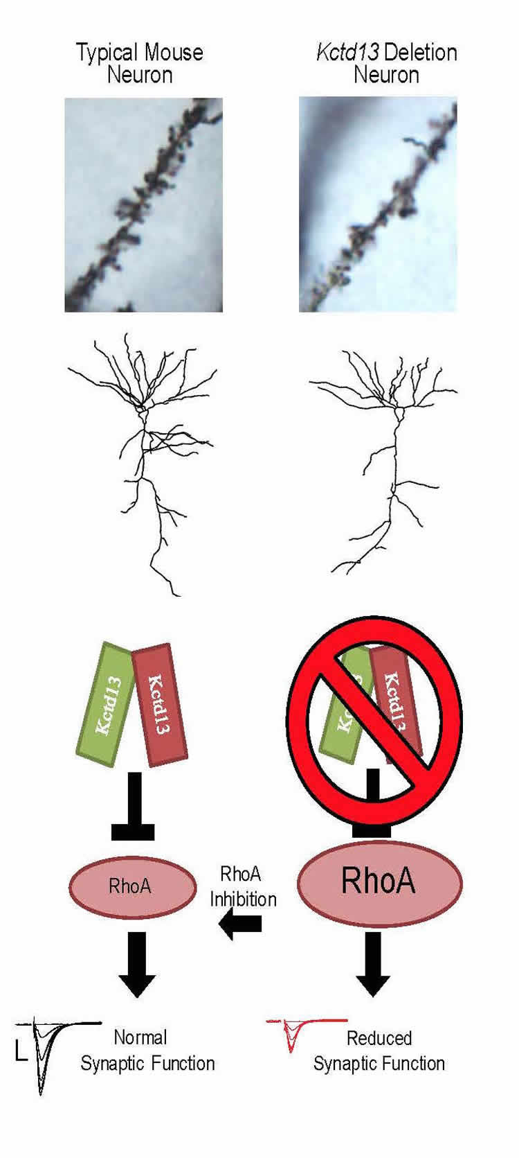 Image shows a diagram of neurons.