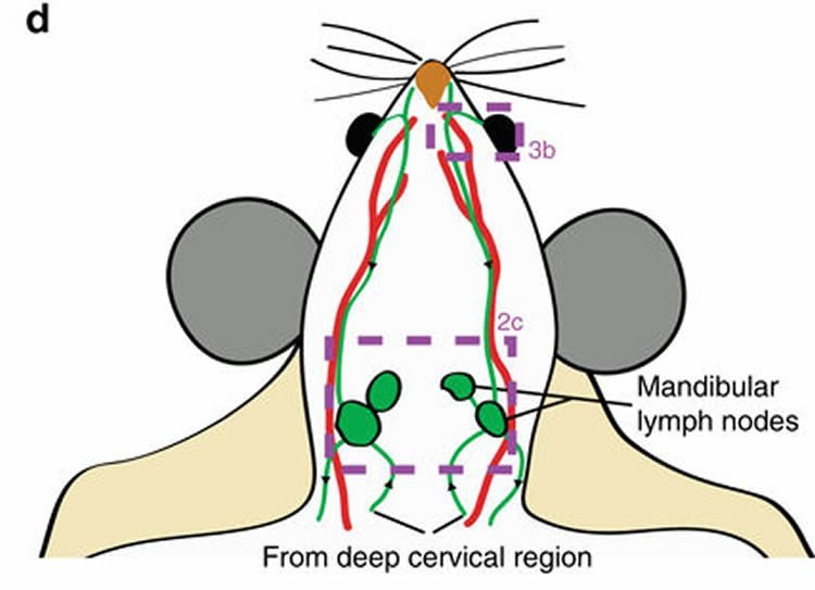 Image shows a diagram of a mouse brain.