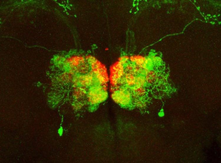 olfactory neurons