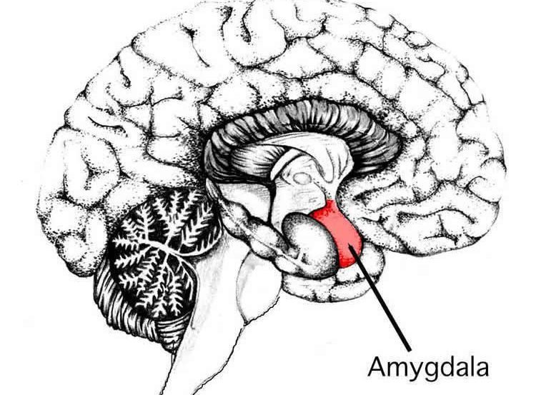 the location of the amygdala in the brain