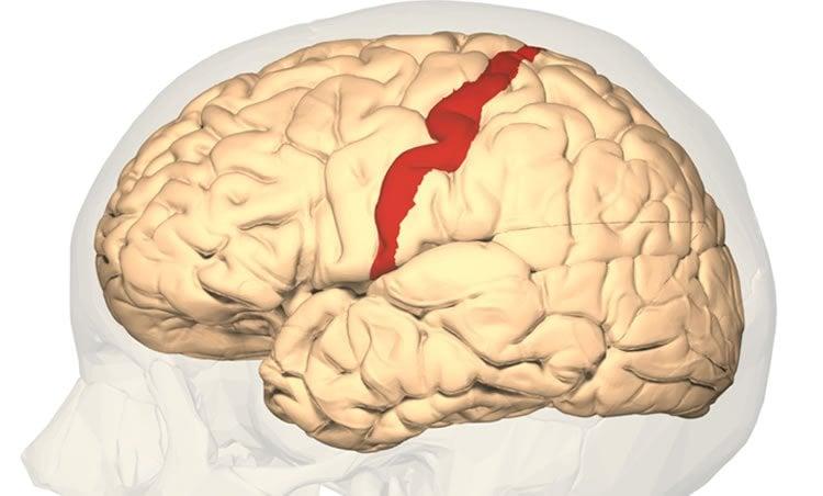 brain somatosensory cortex