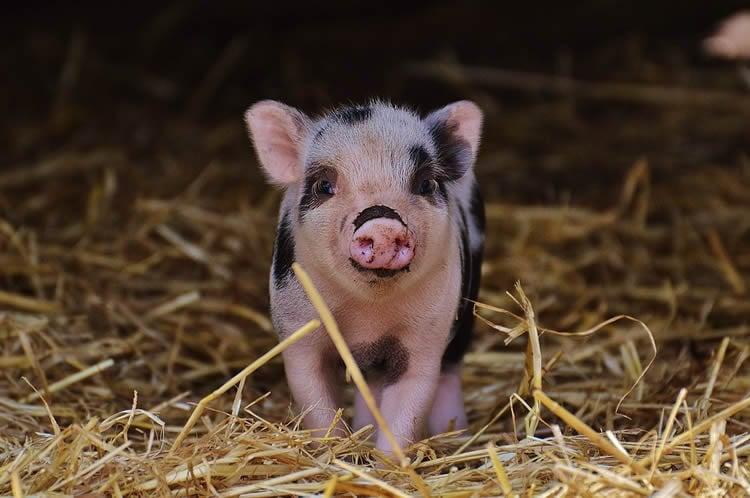 a piglet