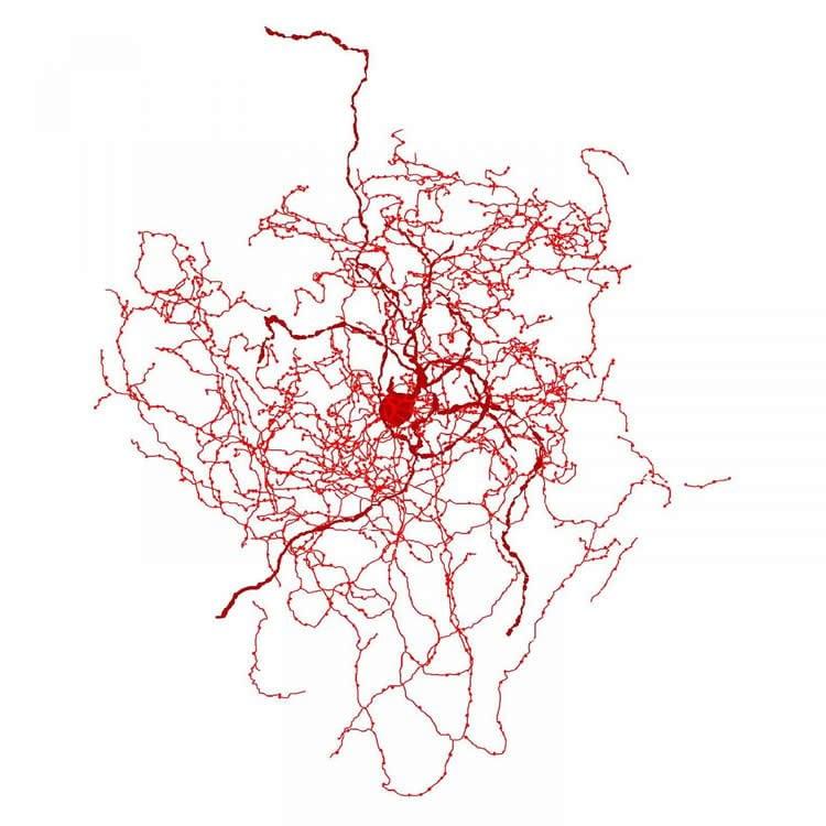 the rosehip neuron