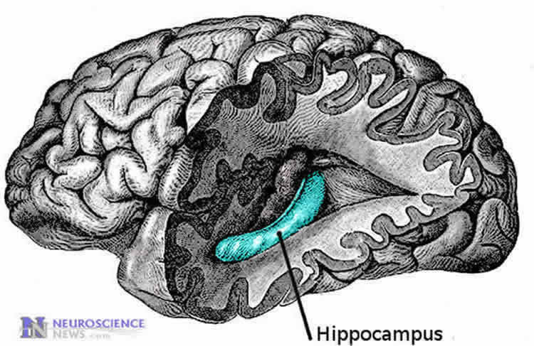 the hippocampus in the brain