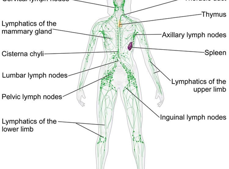 the lymphatic system diagram