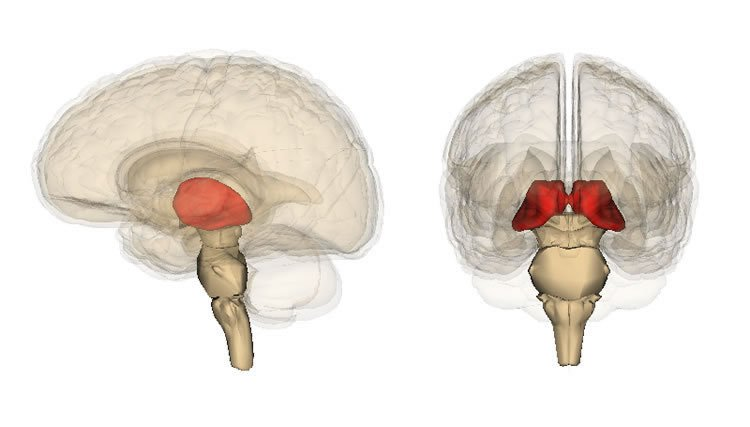 the thalamus in the brain