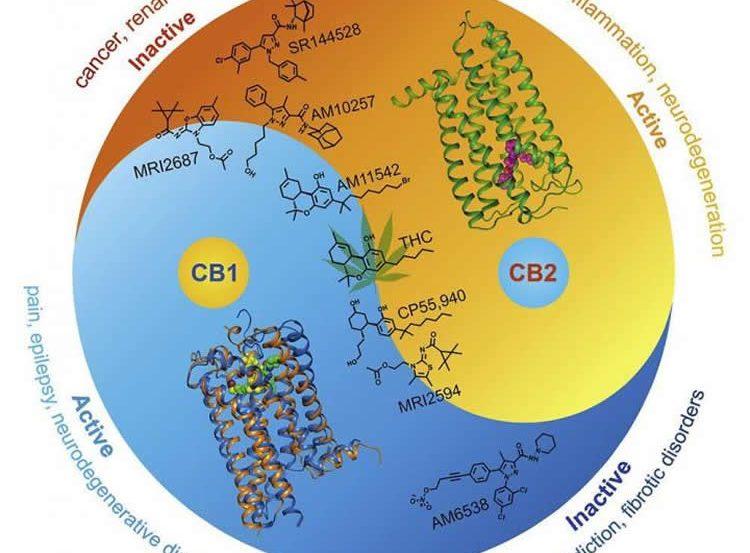 cb2 recetor