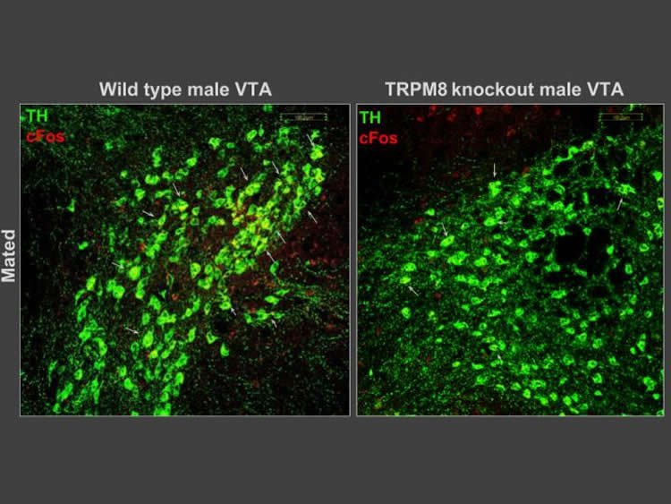neurons in the VTA