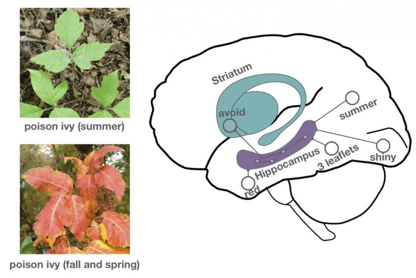 "An image of green poison ivy leaves with ""summer"" under the image is positioned above an image of red and orange poison ivy leaves with ""fall and spring"" under it. Both of these images are to the left of a graphic of a brain with the striatum and hippocampus drawn in and labeled. Areas are labeled with the words avoid, red, leaflets, shiny, and summer on the graphic."