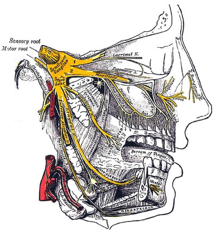 This image shows the location of the trigeminal nerve.