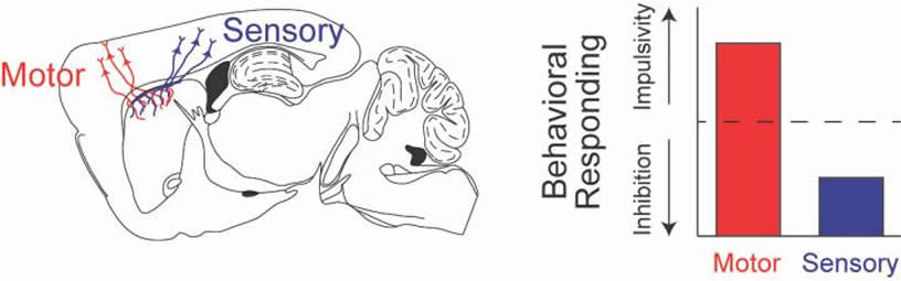This shows the motor and sensory areas of the brain