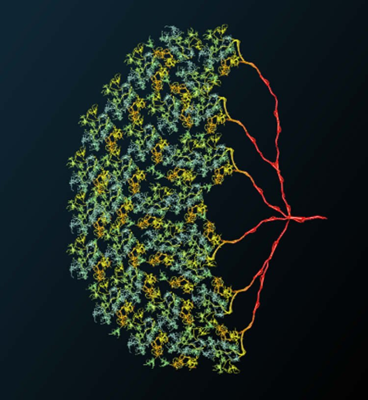 This shows CT1 cells in a fly's visual system