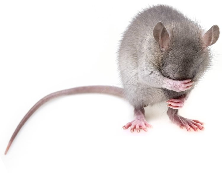 This shows a rat covering its face with its paws