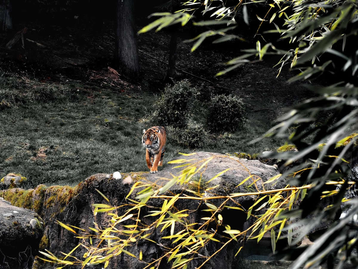 This shows a tiger on a rock