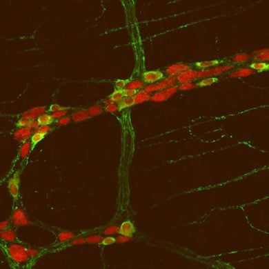 this shows gut neurons