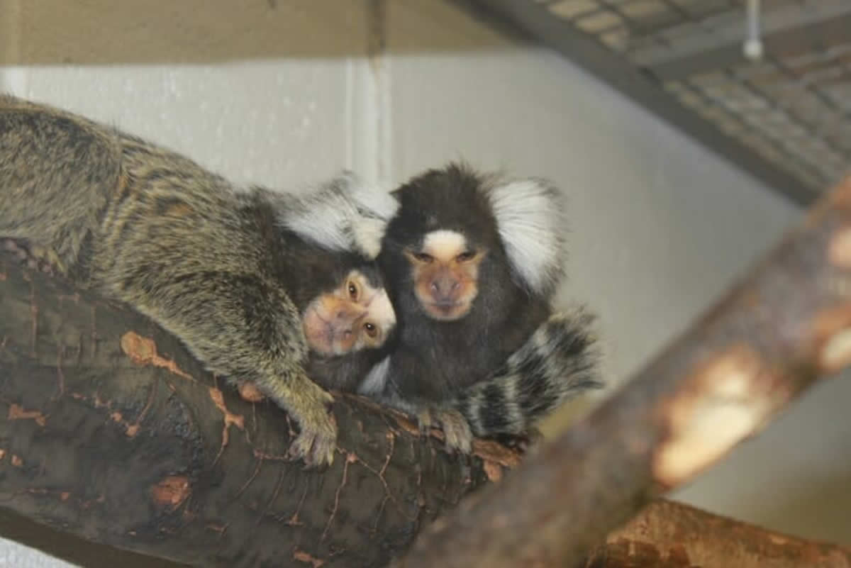 This shows marmoset monkeys
