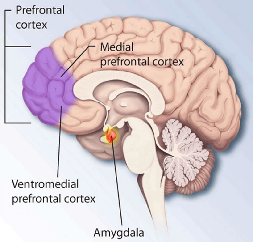 This shows the prefrontal cortex in the brain