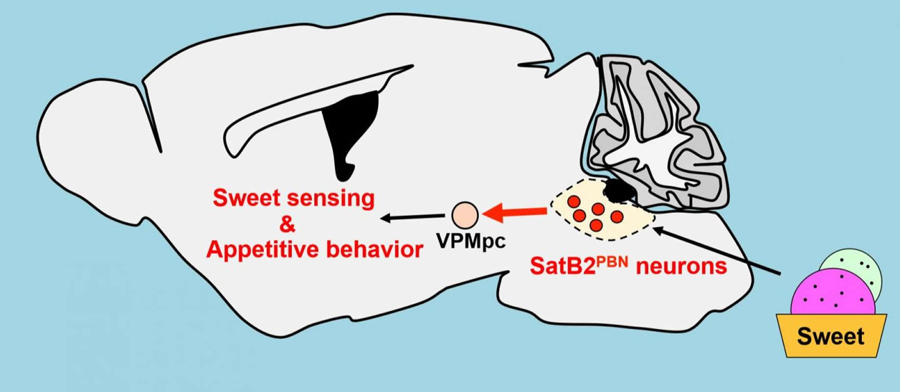 This shows the network from the gustatory thalamus to the cortex in mice