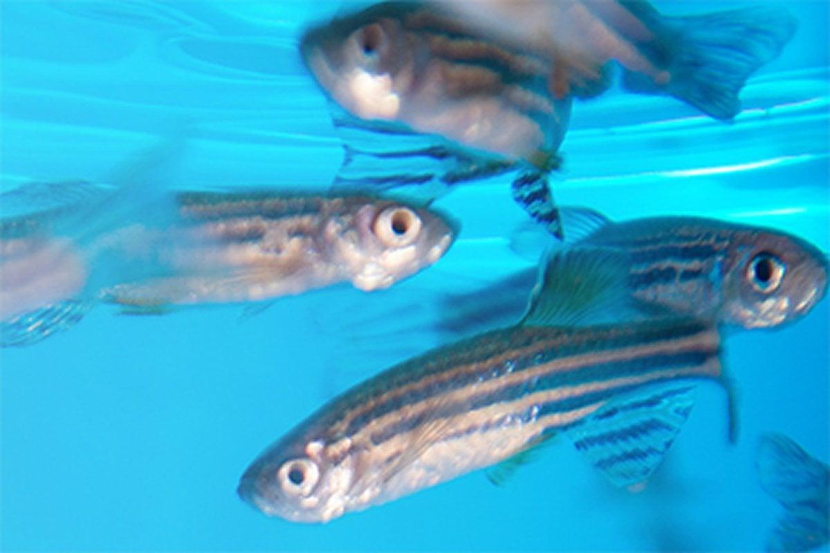 This shows zebrafish