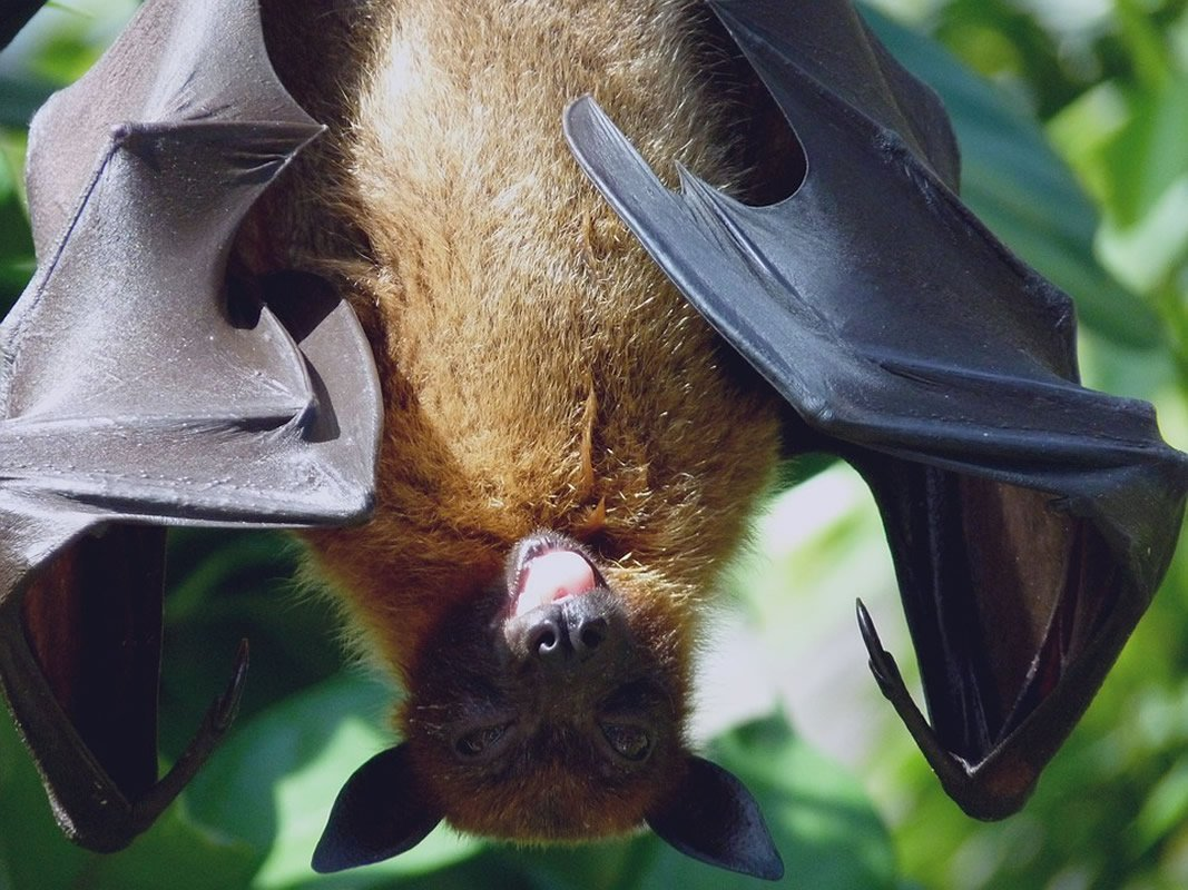 This is a bat sticking its tongue out