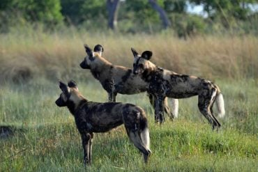 This shows wild dogs