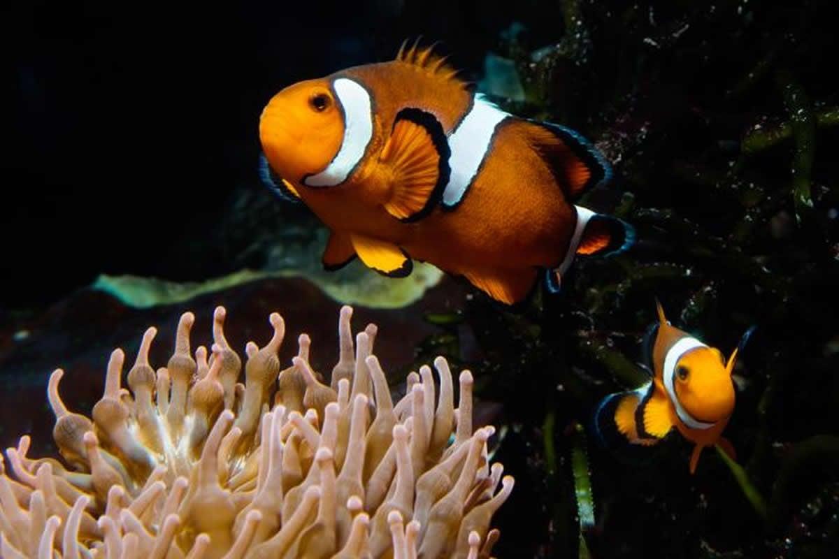 This shows clown fish