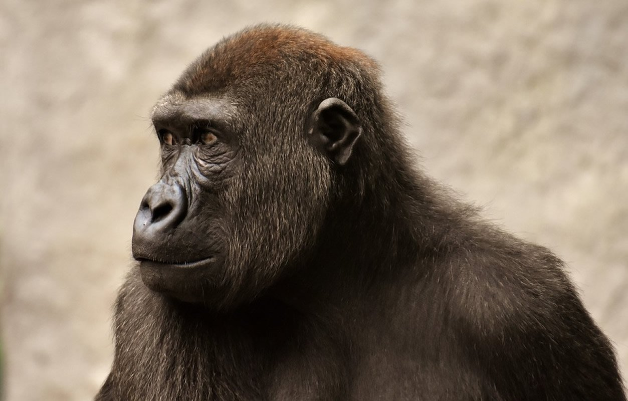 This shows an ape
