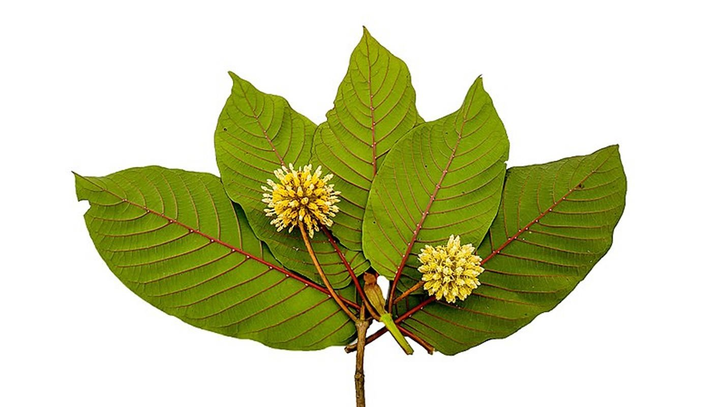 This shows a Kratom leaf and flower