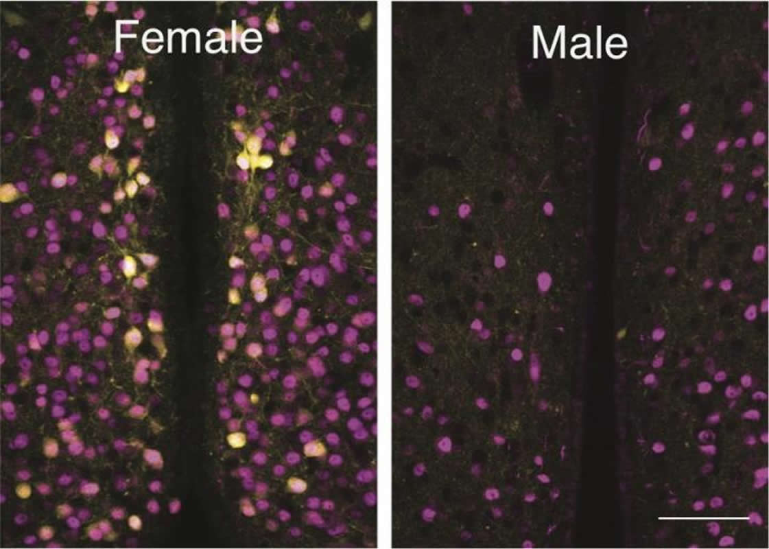 This shows the difference in oxytocin neurons between male and female mice