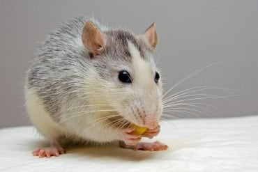 This shows a cute rat