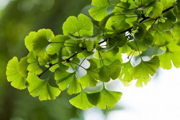This shows gikgo biloba leaves