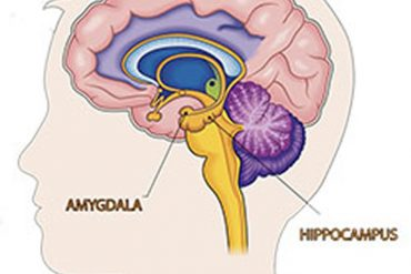This shows the location of the amygdala and hippocampus in the brain