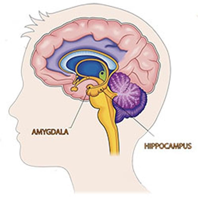 brain sex differences amygdala damage in Altrincham