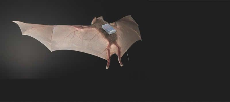 This shows a vampire bat