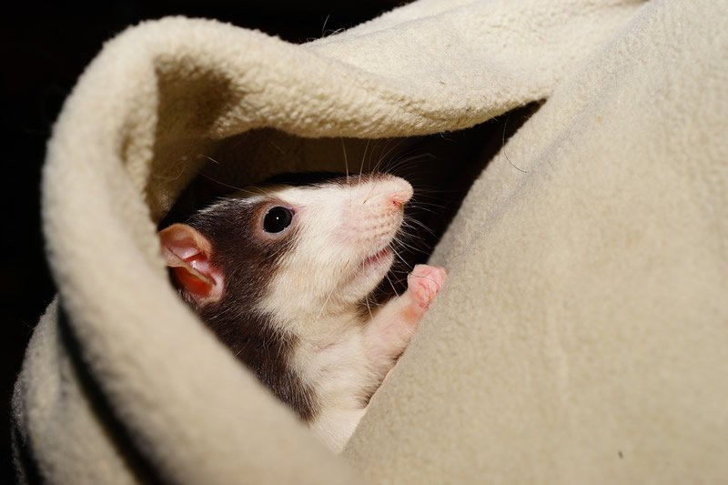 This shows a cute rat snuggled in a blanket