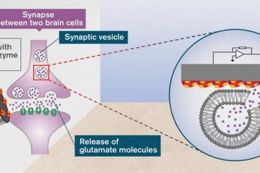This shows a glutamate receptor