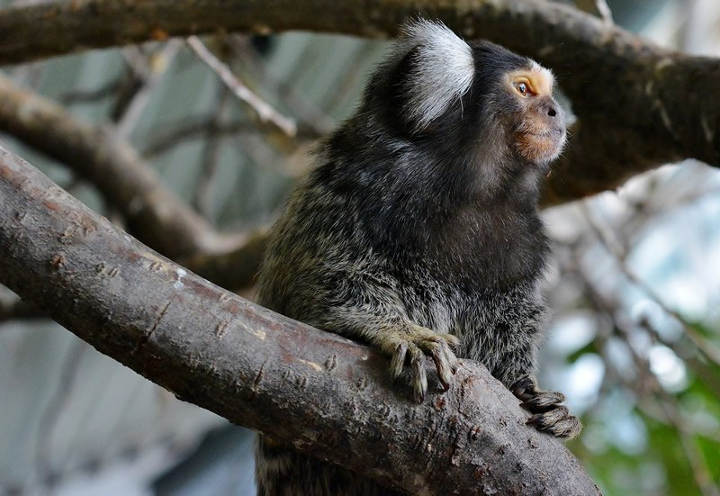 This shows a marmoset