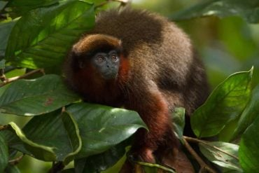 This shows a red titi monkey