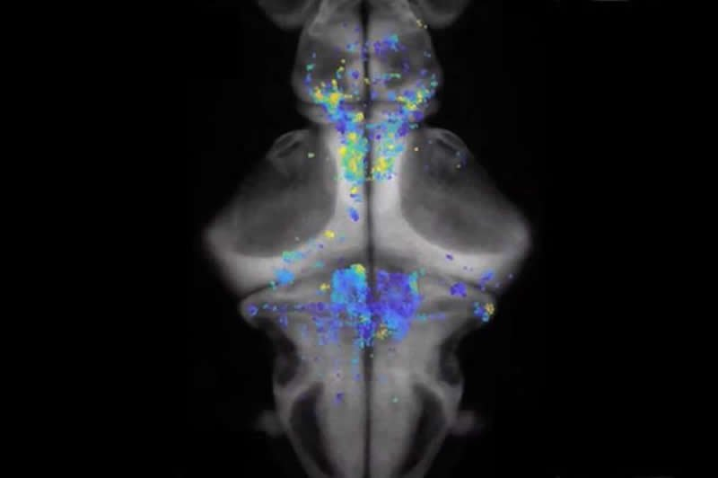 This shows neurons in the zebrafish
