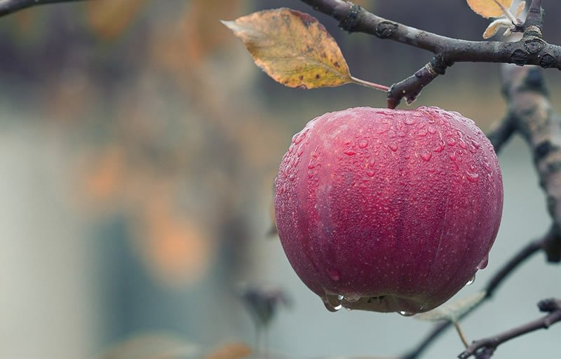 This shows an apple on a tree